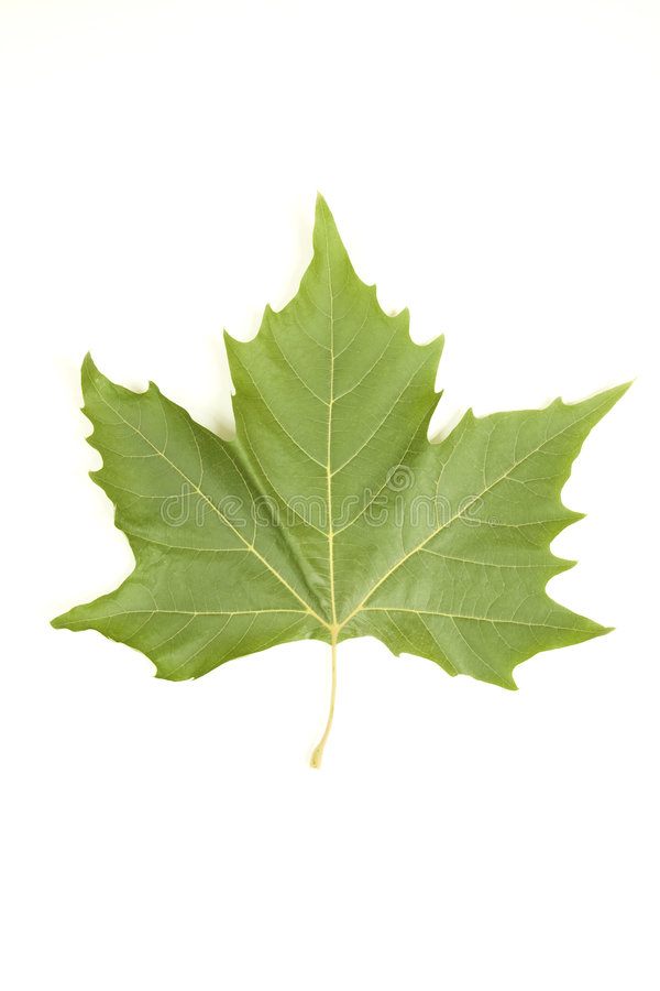 Free Leaf Maple Royalty Free Stock Photography - 6404747