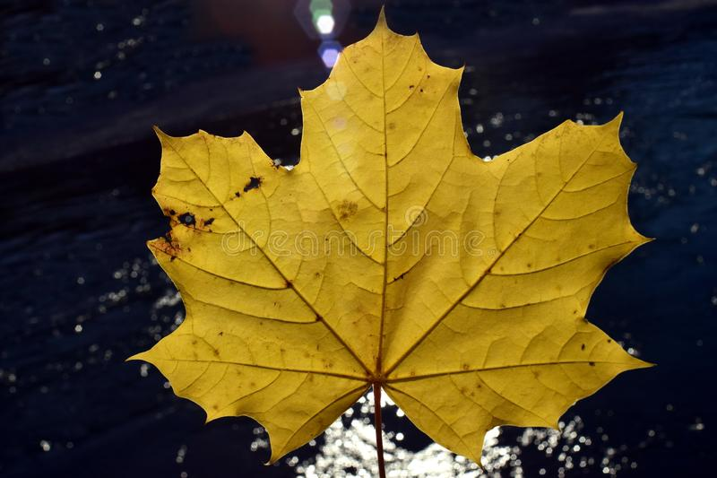 Leaf, Maple Leaf, Autumn, Plane Tree Family royalty free stock photography