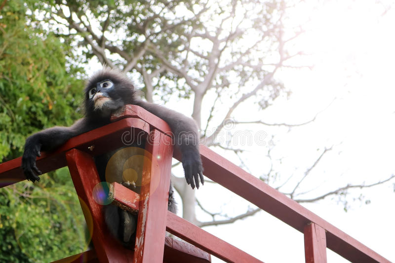 Leaf Monkey,Duskey Langur on the terrace. royalty free stock images