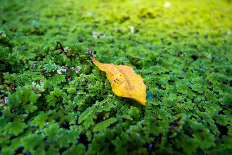 Leaf on the Moss of top view. Close-up stock photography
