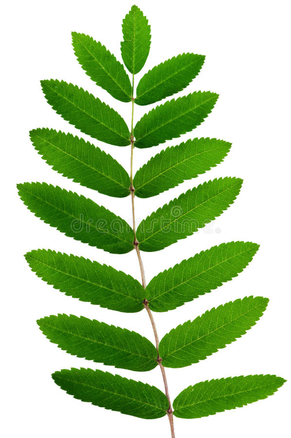 Leaf of a mountain ash royalty free stock photo