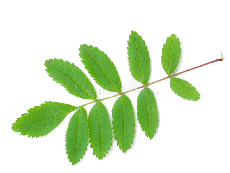 A Leaf of a Mountain Ash royalty free stock photo