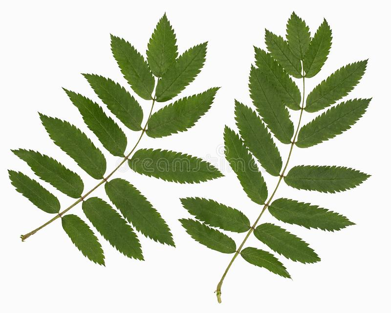 Leaf of a mountain ash. It is isolated on white royalty free stock photography