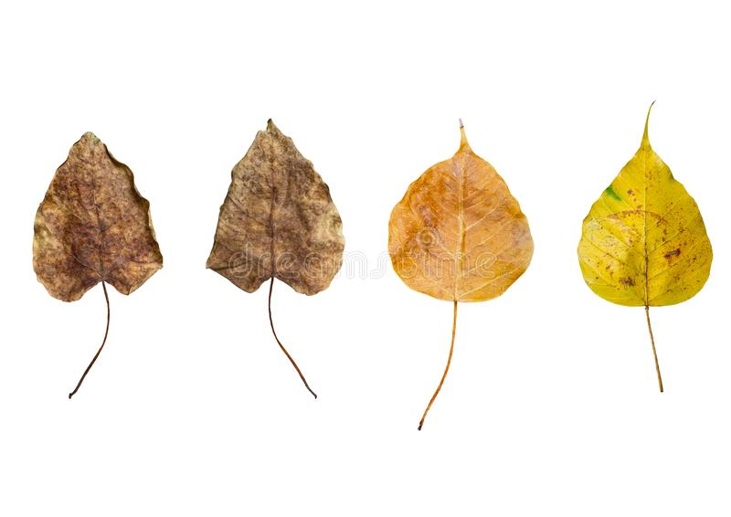 Leaf name is Bodhi fall from the tree,Dry leaves colors Brown Yellow Orange,Nature is wilted,White background mapping. Leaf name is Bodhi fall from the tree,Dry stock photography