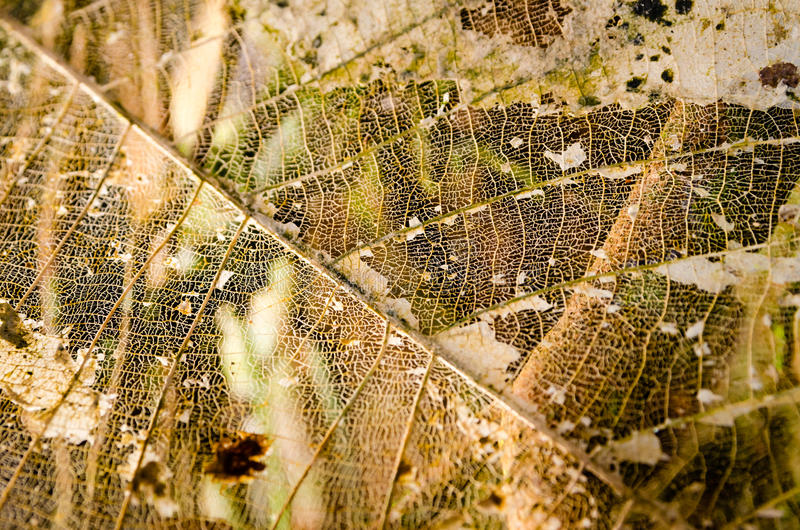 Leaf nerves. Dry leaf's nerves royalty free stock photos