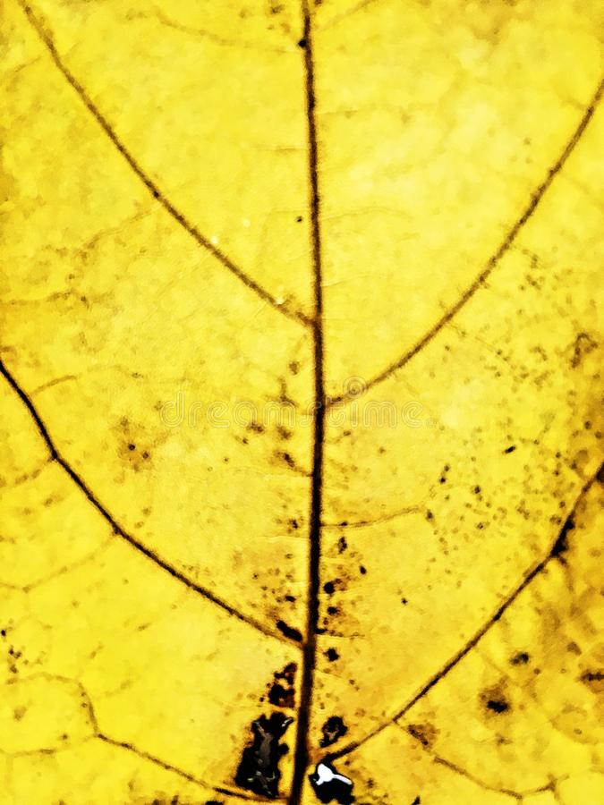 Leaf nerves. Yellow leaf that shows it& x27;s nerves at backlighting royalty free stock photography