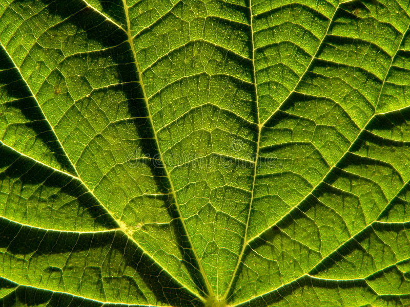 Leaf of the nettle. Serias of texture (Leaf of the nettle stock photos