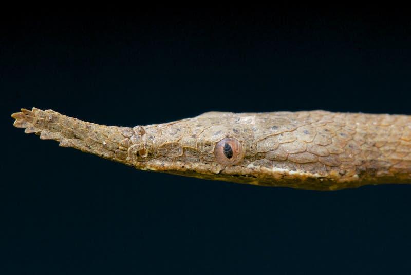 Leaf-nosed orm/Langaha madagascariensis arkivbild
