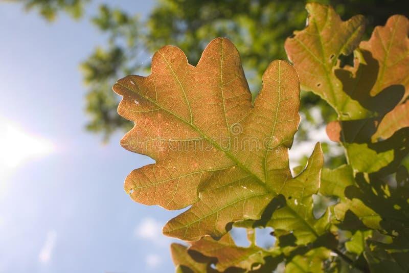 Download Leaf of oak tree stock image. Image of wood, life, tree - 5363649