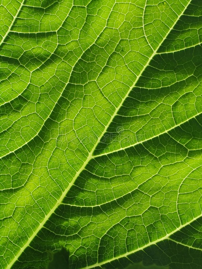 Free Leaf Of Cymbling Stock Photos - 242673