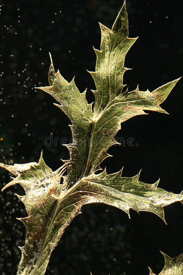 Free Leaf Of Dried Thistle Royalty Free Stock Photography - 2644197