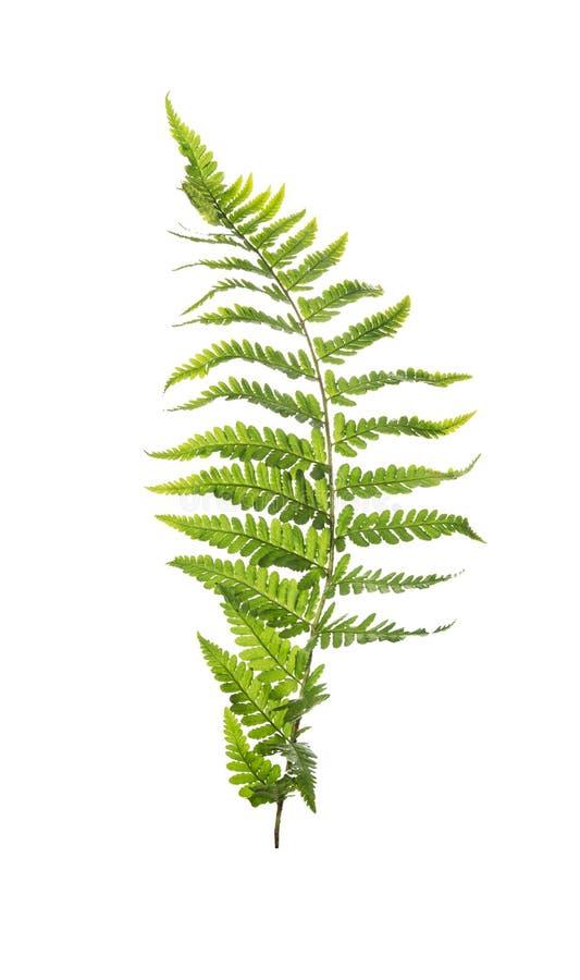 Free Leaf Of Fern, Isolated On White Stock Photo - 44871990