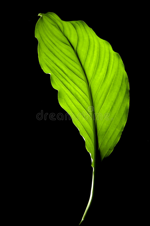 Free Leaf On Black Background Stock Photo - 699540