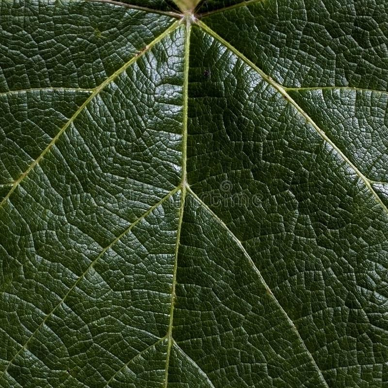 Leaf at close. A leaf is an organ of a vascular plant and is the principal lateral appendage of the stem stock photography