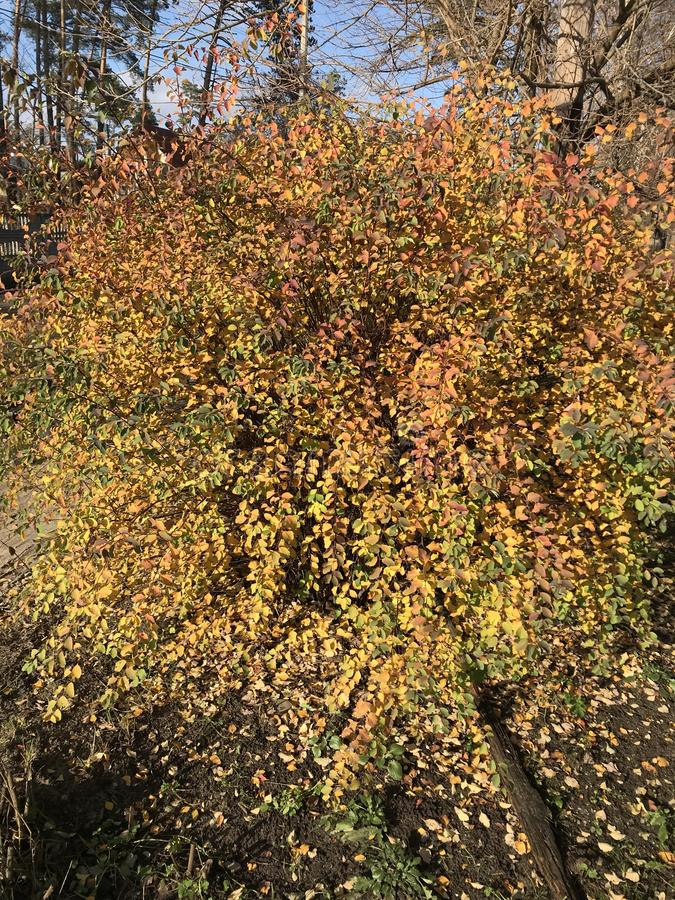 Red, orange, green & gold fall leaves & foliage decorate a burning bush in the bright autumn sun - TREES - NATURE - AUTUMN. A leaf is an organ of a vascular royalty free stock photos