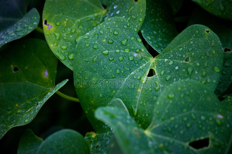 Water drops on the leaves during the monsoons. A leaf is an organ of a vascular plant and is the principal lateral appendage of the stem. The leaves and stem stock photo