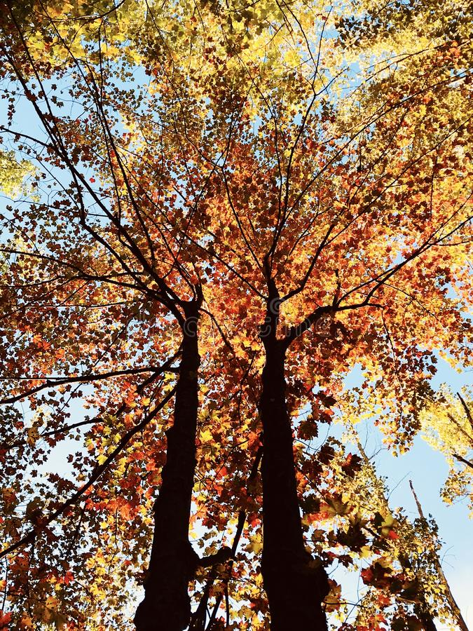 Tremendous fall foliage in the autumn sun - TREES - FALL. A leaf is an organ of a vascular plant and is the principal lateral appendage of the stem. The leaves royalty free stock photo