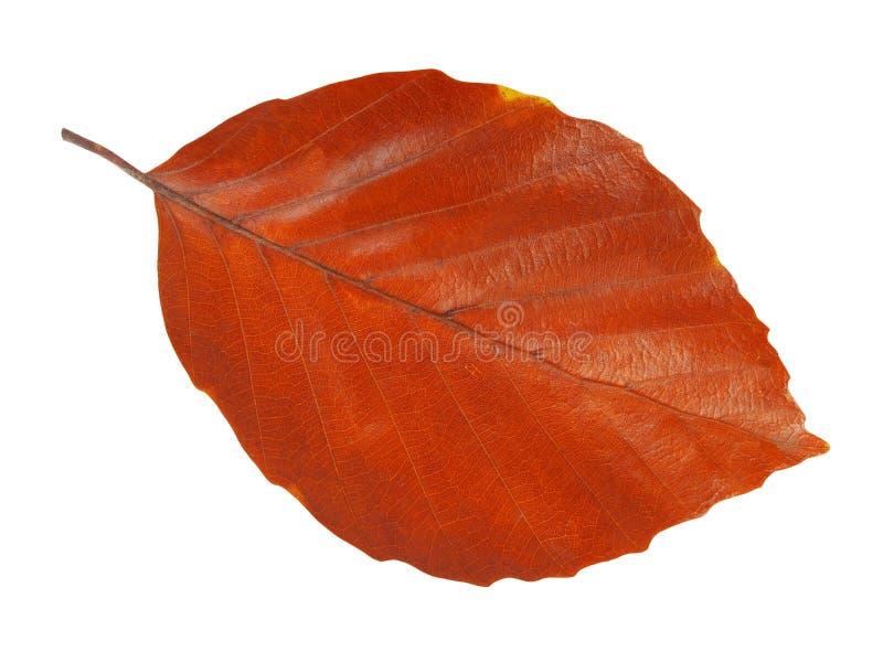 Leaf på vit royaltyfria bilder