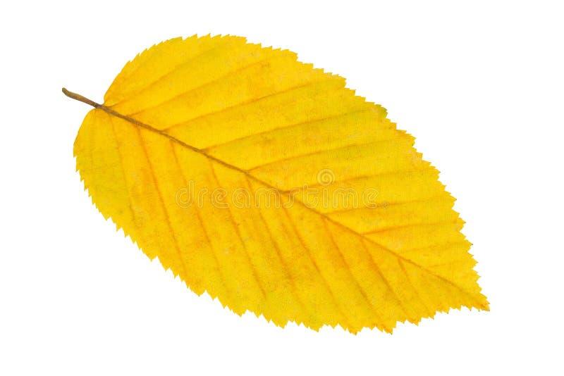 Leaf på vit fotografering för bildbyråer