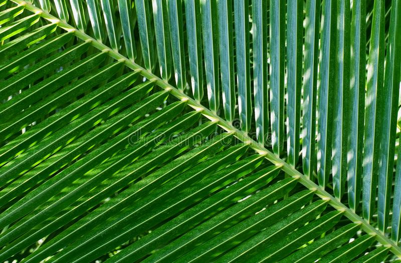 Leaf of a palm tree royalty free stock photos