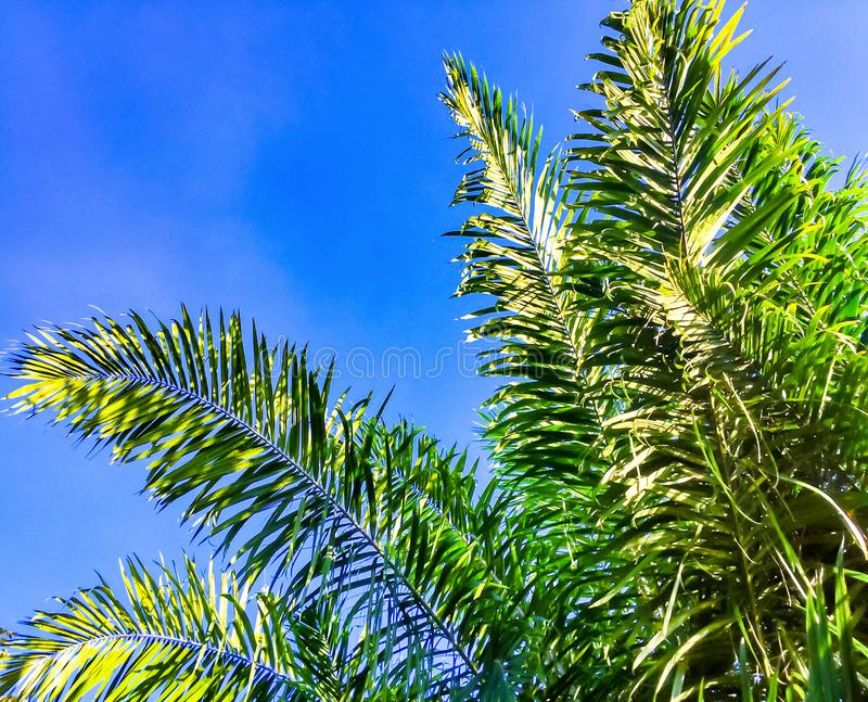 Leaf of palm tree with blue sky royalty free stock photo