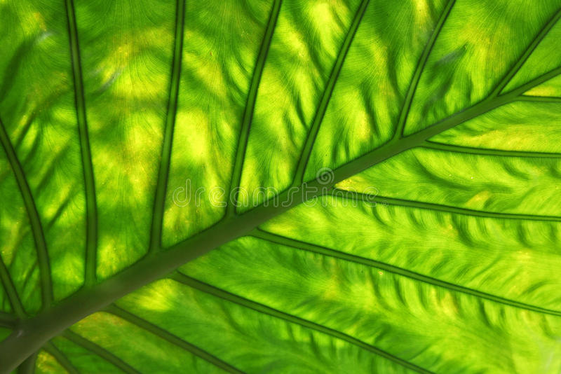 Leaf Pattern. Beautiful Pattern of a green dasheen leaf royalty free stock photos