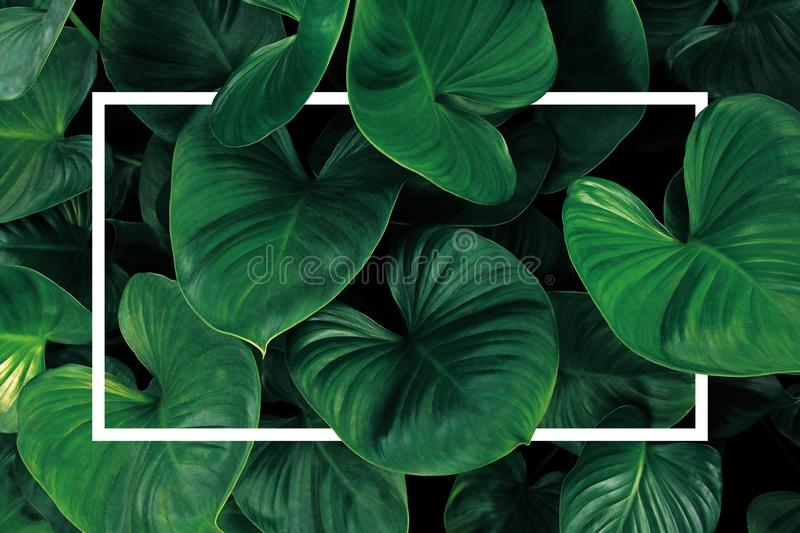 Leaf pattern nature frame layout of heart shaped green leaves Homalomena tropical foliage plant on dark background with white. Frame border royalty free stock photos