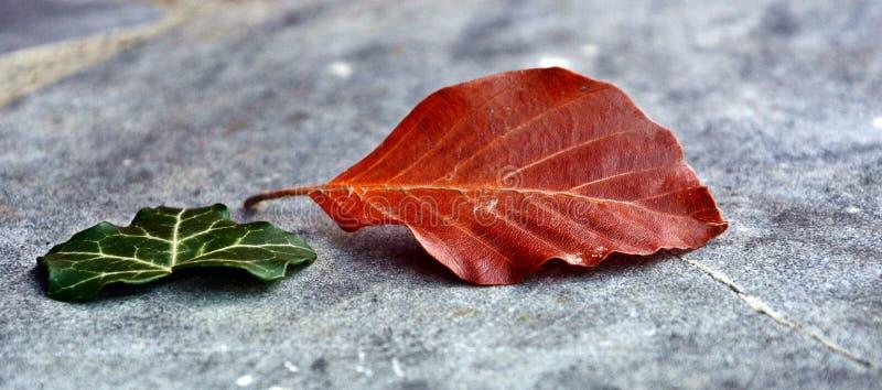 Leaf, Plant, Autumn, Maple Leaf royalty free stock photos