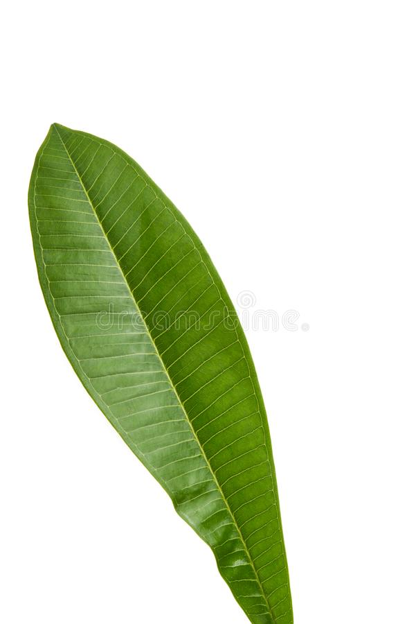 leaf of plumeria isolated stock photography