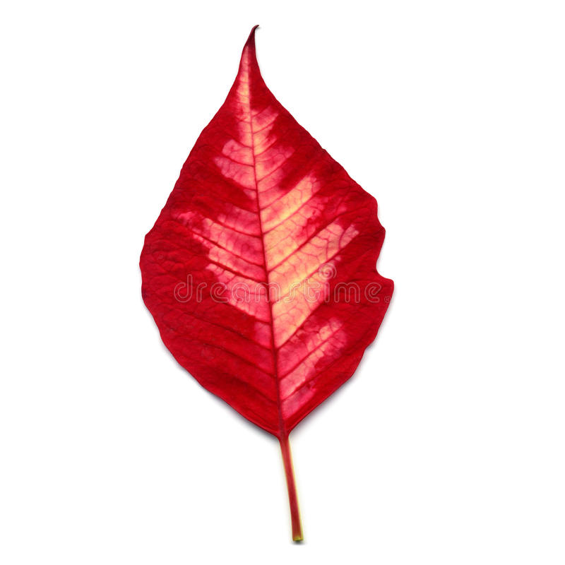 Leaf of Poinsettia Christmas star royalty free stock images