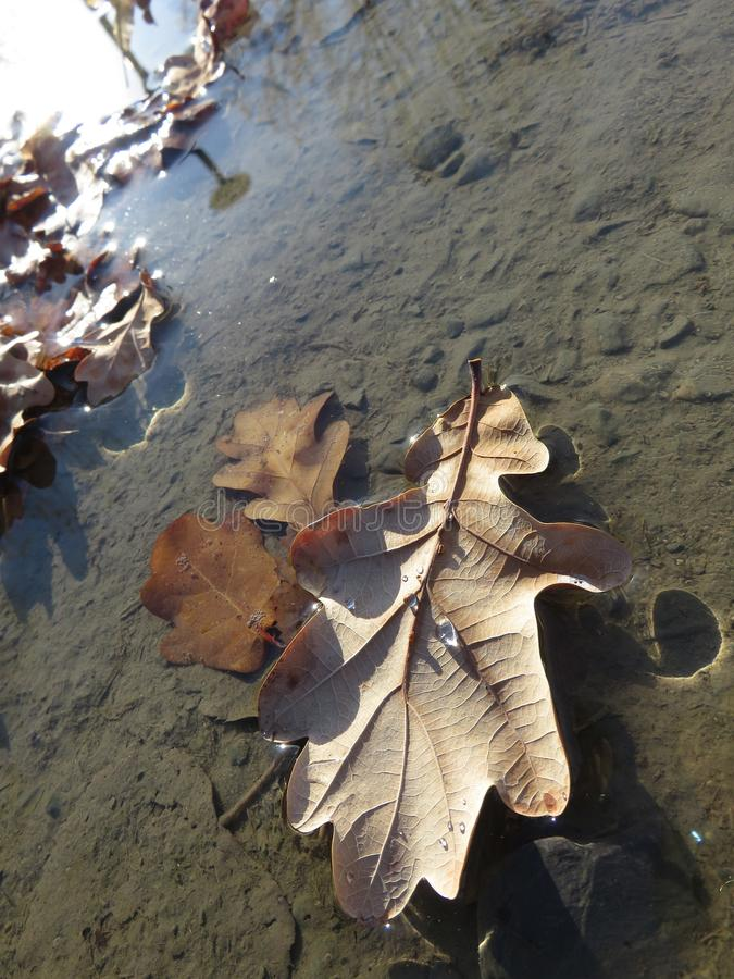 Leaf in a puddle on water stock photo