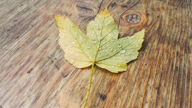 Leaf with raindrops stock images