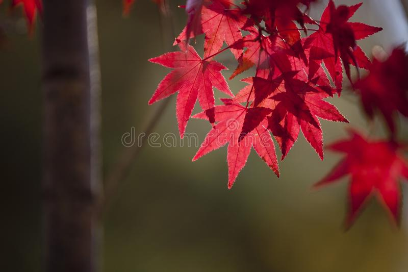 Leaf, Red, Maple Leaf, Autumn royalty free stock photos