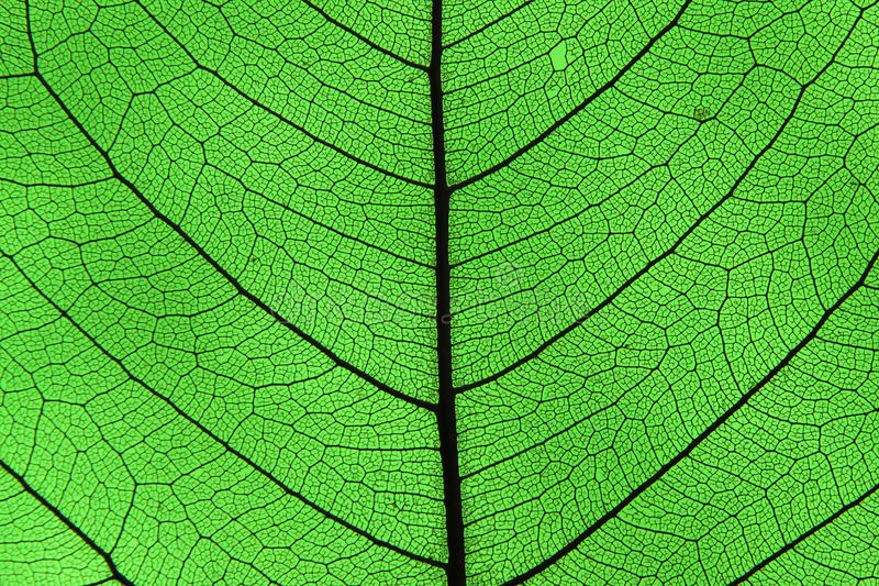 Download Leaf ribs and veins stock photo. Image of energy, ribs - 32289790