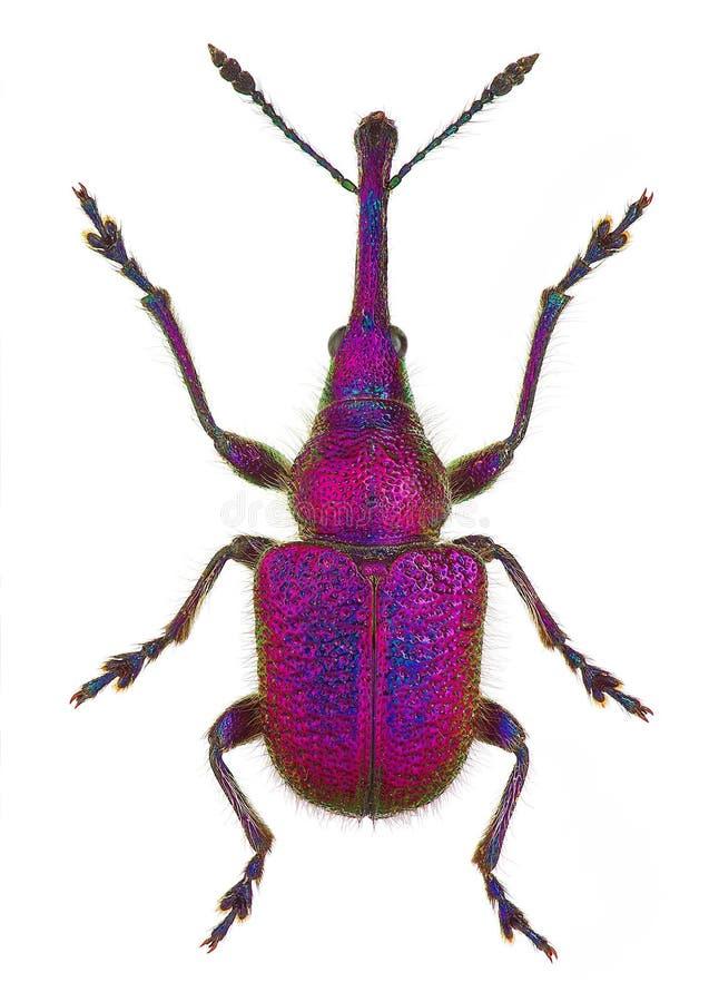 Download Leaf-rolling weevil stock image. Image of background - 31364397