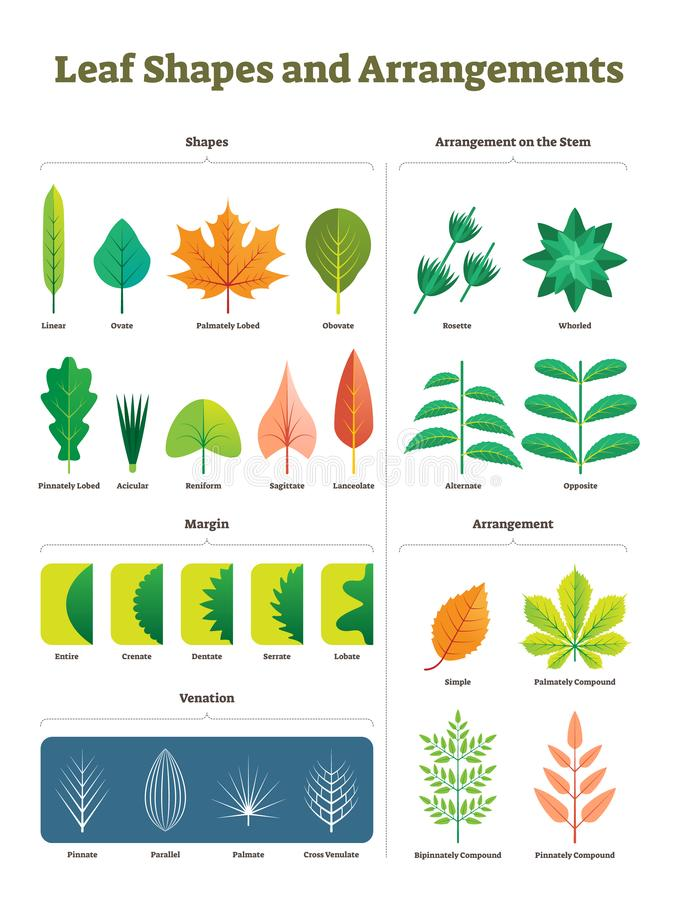 Free Leaf Shapes Complex Vector Illustration. Biological Characteristic Division Stock Image - 132121971