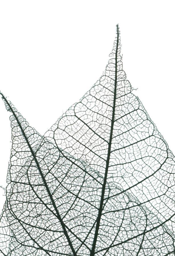 Leaf skeleton royalty free stock image