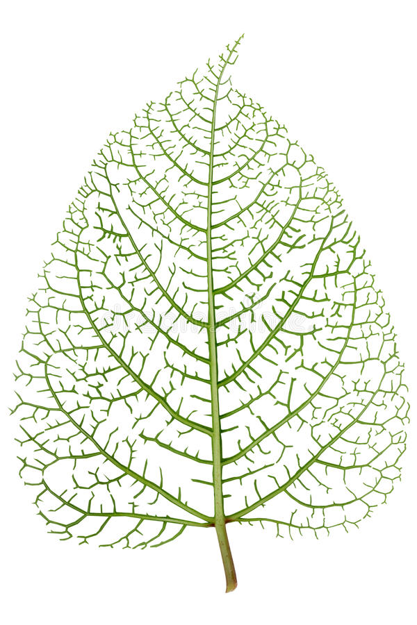 Leaf skeleton veins royalty free stock images