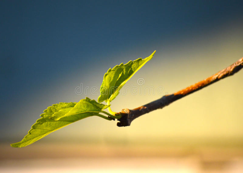 Leaf sprouting stock photography