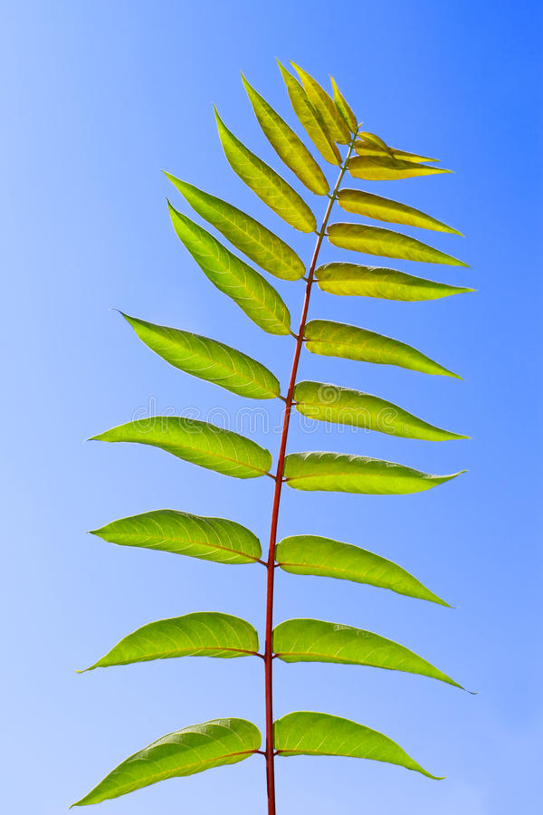 Download Leaf of Staghorn sumac stock image. Image of beauty, deciduous - 22641953