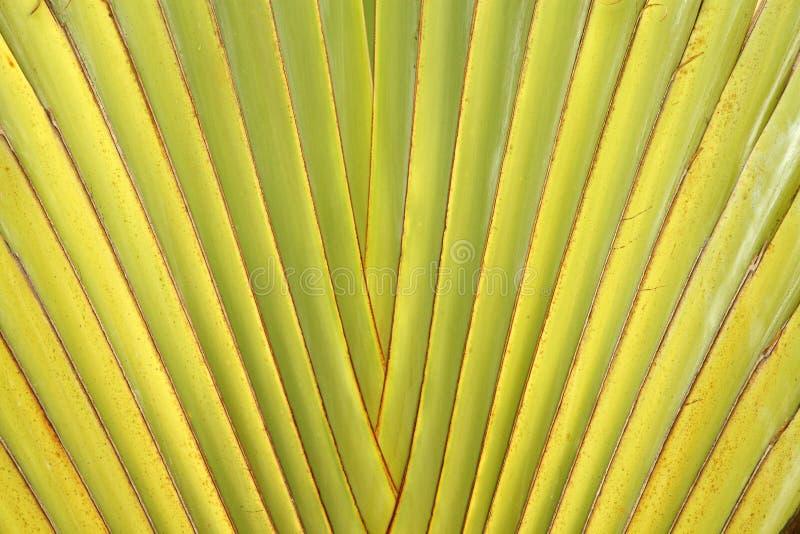 Download Leaf Stalk Of Traveller Palm Stock Image - Image: 25466271