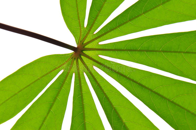 Leaf star stock photography