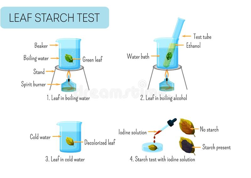 Leaf starch test. School scientific experiment proves photosynthesis in leaves. Boiling leaf in water, ethanol, washing, reaction with iodine solution vector illustration