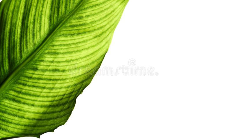 Leaf of strelitzia with cells and veins isolated on white background. Leaf of strelitzia with cells and veins are visible, macro, close-up, isolated on white royalty free stock images