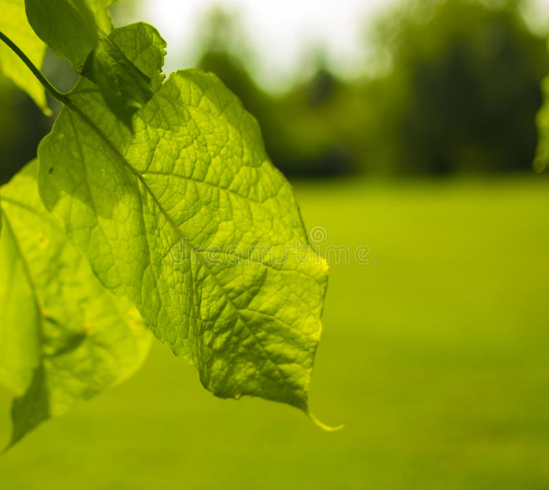 Leaf in the sun royalty free stock image
