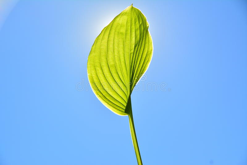 Download Leaf in the sun. stock image. Image of leaf, centered - 34162657