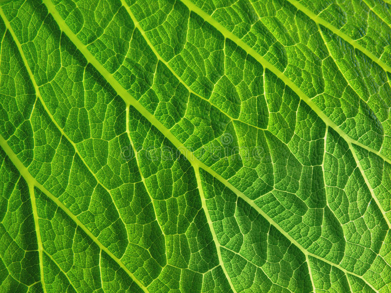 Download Leaf surface stock photo. Image of chlorophyll, texture - 24433800