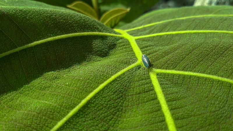 Leaf of the teak royalty free stock photography