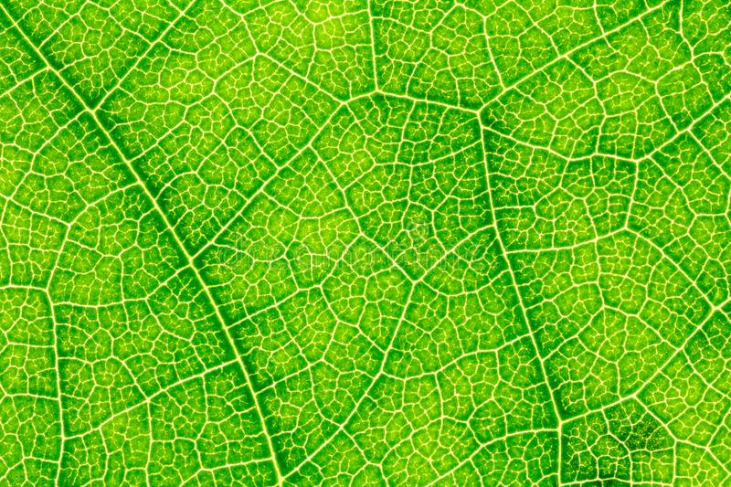 Leaf texture or leaf background for website template, spring beauty, environment and ecology concept design stock photos