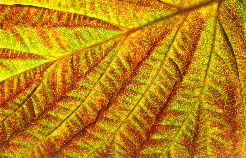 Leaf texture of currant royalty free stock photo